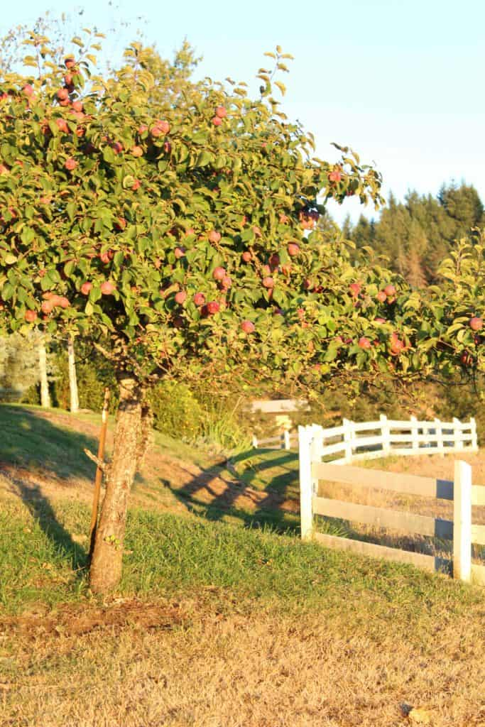 apple trees with white fence