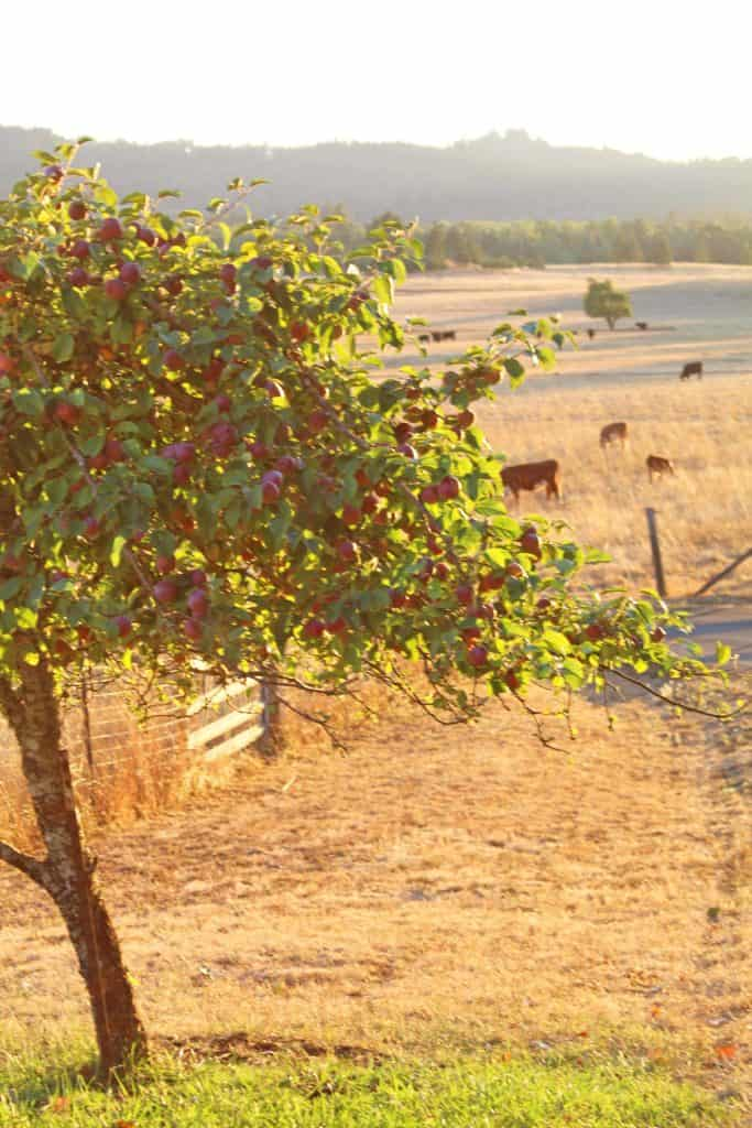 apple tree with cows in pasture