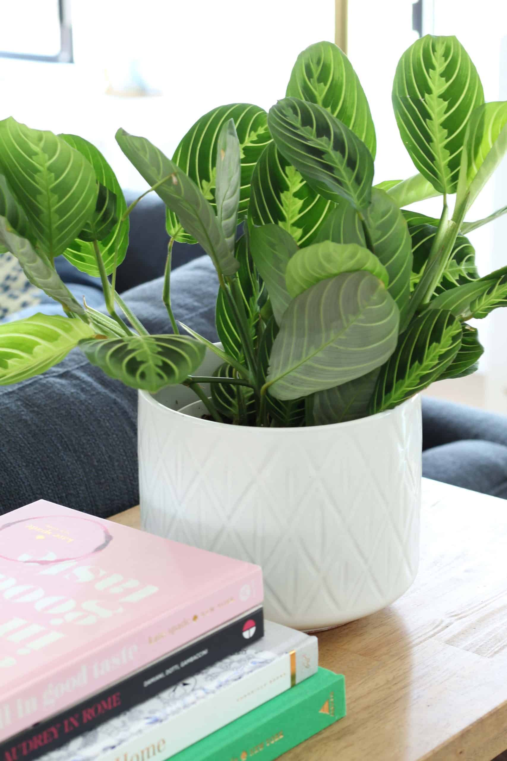 prayer plant in modern ceramic pot, navy blue sofa
